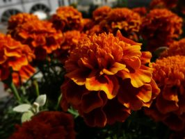 Summer tagetes no.3 by Silthria