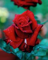 Late Summer Red Rose by DaFotoGuy
