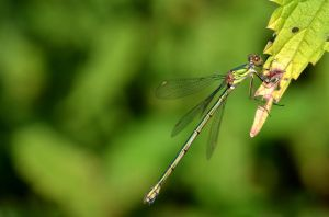 dragonfly by Lydiie