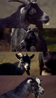 Goats by Dullface