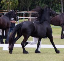 STOCK - Friesian Show 2012-141 by fillyrox