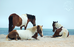 Assateague Life by Jaded-Night