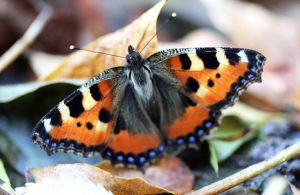 Small tortoiseshell butterfly by Manonvr