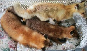 Taxidermy Red Foxes - Personal Collection  by kazscreations