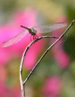 DRAGONFLY NOT FLYING by kumarvijay1708