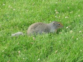 Ground Squirrel by pixidance