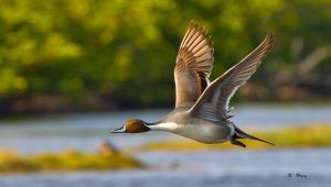 Northern Pintail Pass by Grouper