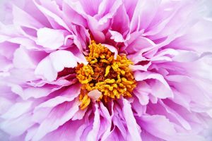 Paeonia by crh