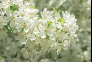 White Spring Blossoms by muffet1
