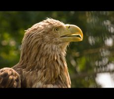White tailed Sea Eagle by carlarush