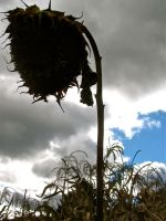 Dead Sunflower. by ElizabethTamara