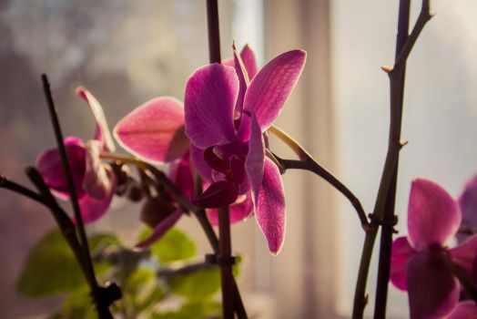 Orchid by ABucin