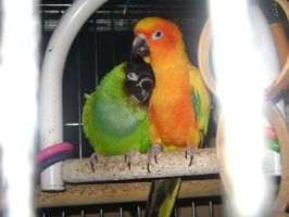 Conure Love 001 by LittleBigDave