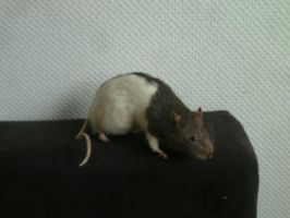 taxidermy rat on my couch by Blutbraut