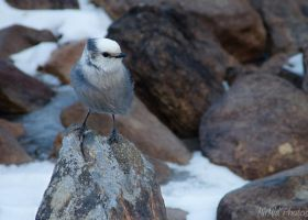 Gray Jay by MirMidPhotos