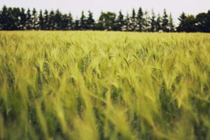 field of wheats by weruninhalflight