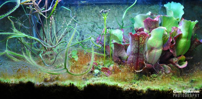 Carnivorous Plants by ClareDickerson