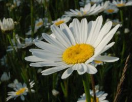 In the Daises by davepuls