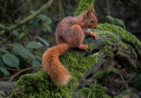 Red Squirrel 2 by KlikitiKlik