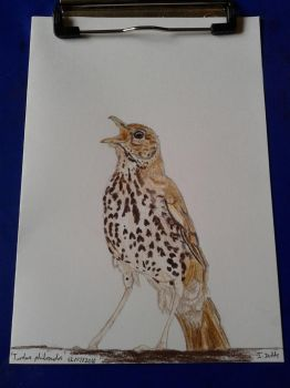 Turdus philomelos ('Song Thrush') by ImmyWimmy1