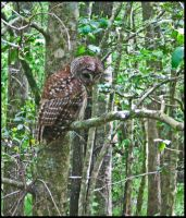 Barred Owl by StormPetral0509