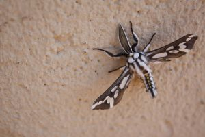 Really Pretty Moth by Scoolioo