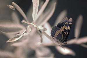 Infrared Butterfly by DoomWillFindYou