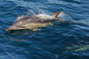 Common Dolphin by Oracle88