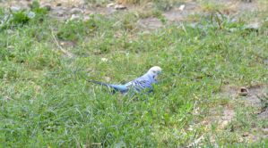 Parakeet In the Park 6 by Miss-Tbones