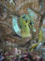Seahorse by sapphireswimming
