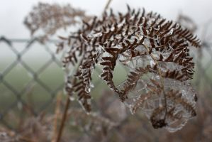 Frozen Fern by syrus