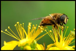Happy Hoverfly by Nameda