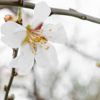 Blossom of an Almond tree by HelenaMim