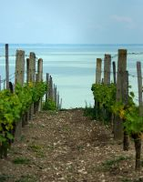 Vineyard on the coast by peter-n