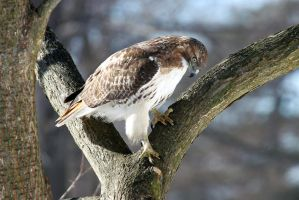 Lucy the Red Tailed Hawk 1 by AaronPlotkinPhoto