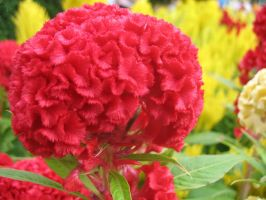 Red Fluffy Flower by parka