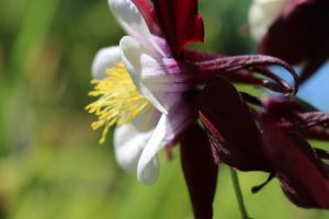 Columbine Flower Side View by DanikaMilles