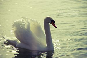 swan by seasfairytale