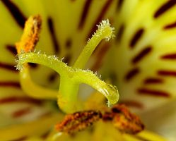 Peruvian Lily by pinestater234