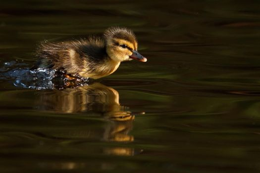High Speed Ducky by thrumyeye