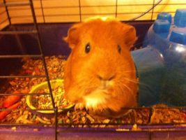 Sophie my new Guinea Pig by SOULxEATERxLOVR