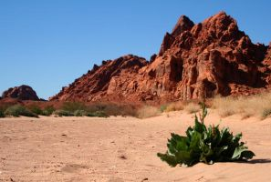 Desert Mullein by Studio4496