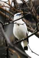 Bali Starling by Shadow-and-Flame-86