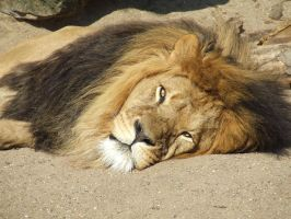 Lion, zoo Artis by Light-Lein