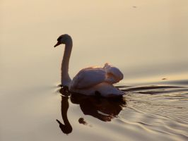 The Swan by Age-Of-Goldmund