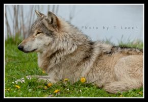 Let Laying Wolves Lie by tleach0608
