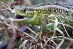 Sand Lizard by freemax