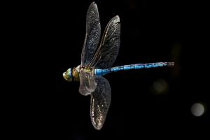 Dragonfly in flight by 30-noir
