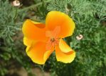 California Poppy by LadySea