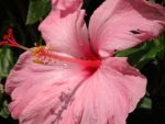 The Nervous Pink Hibiscus by AnnamaeTezuka